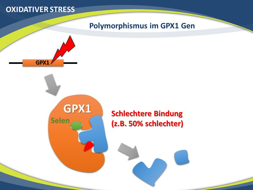 Polymorphismus im GPX1 Gen