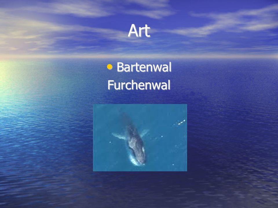 Art Bartenwal Furchenwal