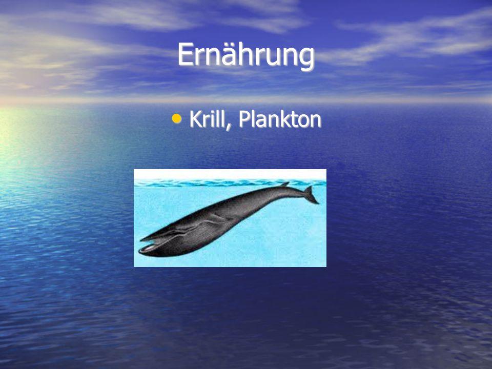 Ernährung Krill, Plankton