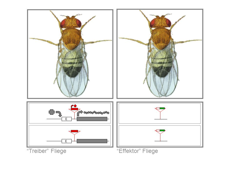 Treiber Fliege E Effektor Fliege