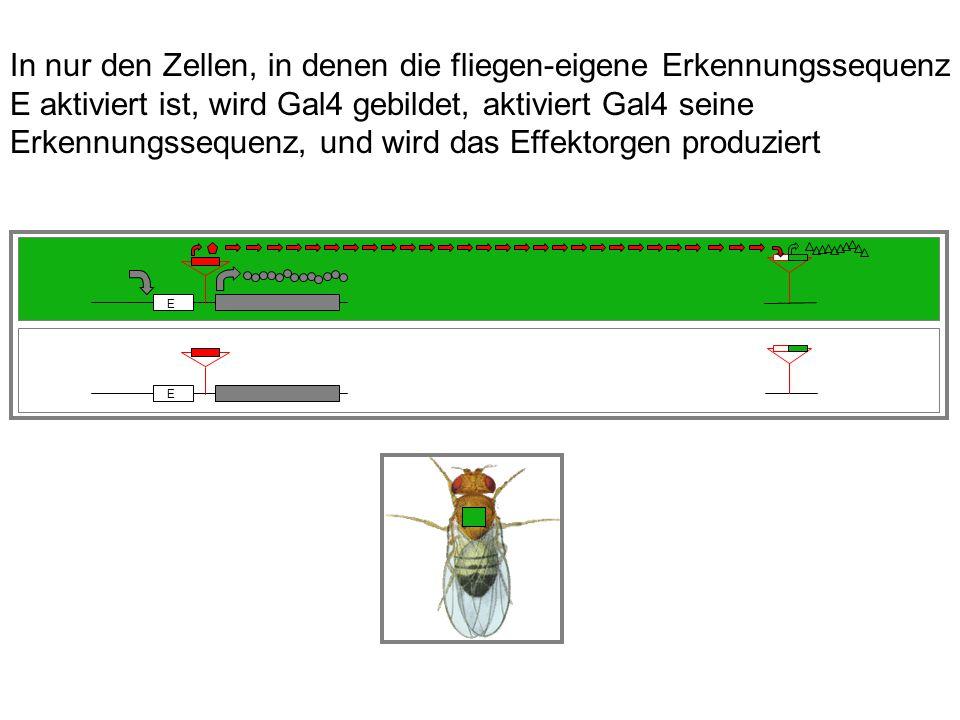 In nur den Zellen, in denen die fliegen-eigene Erkennungssequenz E aktiviert ist, wird Gal4 gebildet, aktiviert Gal4 seine Erkennungssequenz, und wird das Effektorgen produziert