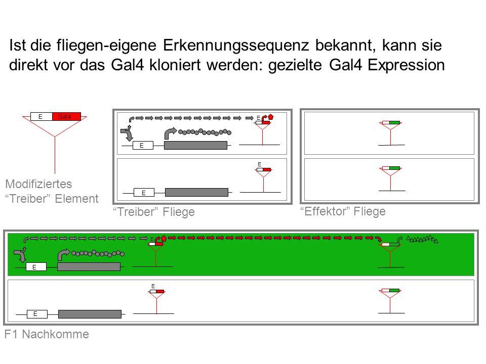 Ist die fliegen-eigene Erkennungssequenz bekannt, kann sie direkt vor das Gal4 kloniert werden: gezielte Gal4 Expression