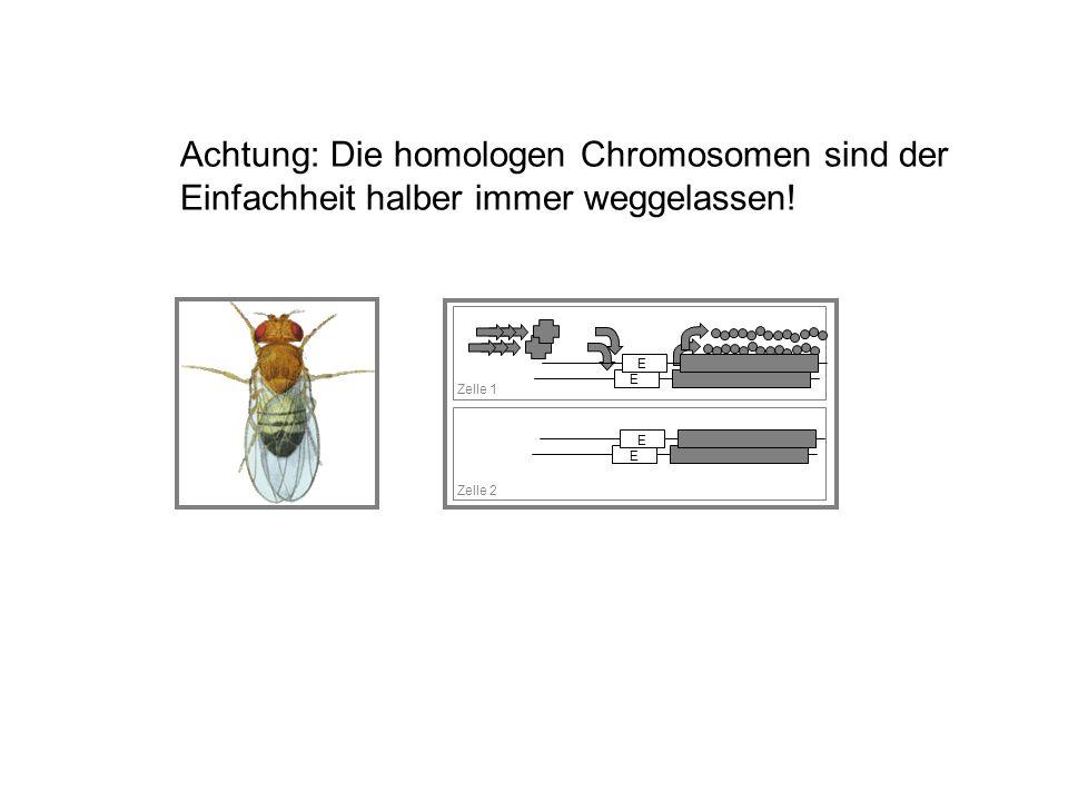 Achtung: Die homologen Chromosomen sind der Einfachheit halber immer weggelassen!