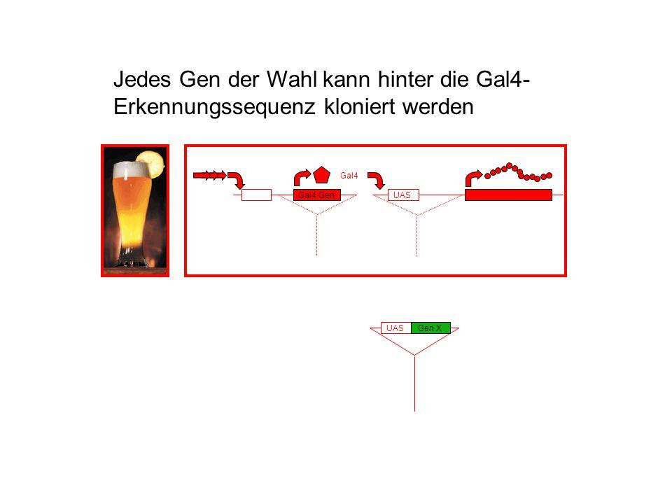 Jedes Gen der Wahl kann hinter die Gal4-Erkennungssequenz kloniert werden