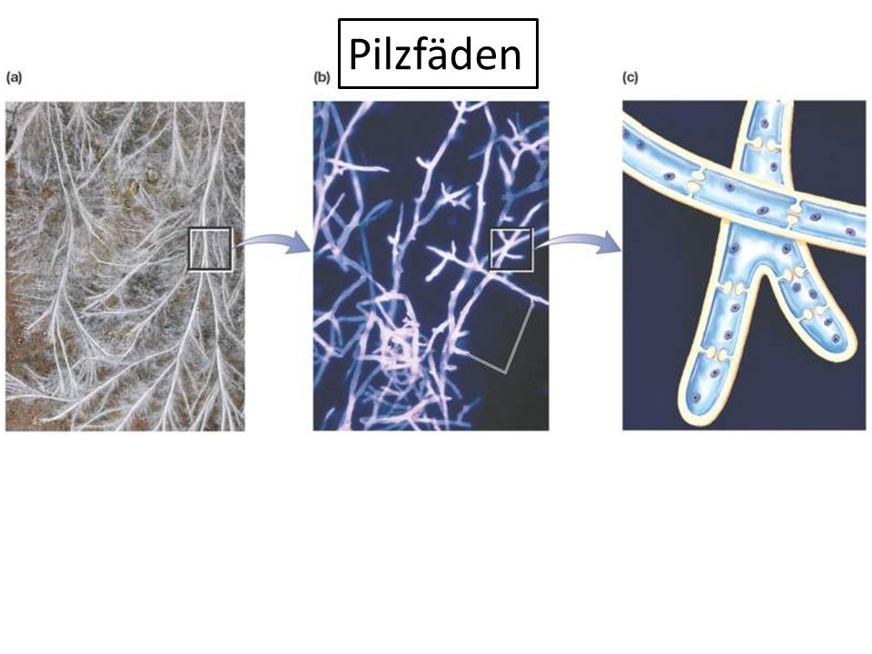 Pilzfäden Figure: 20-1 Title: The filamentous body of a fungus
