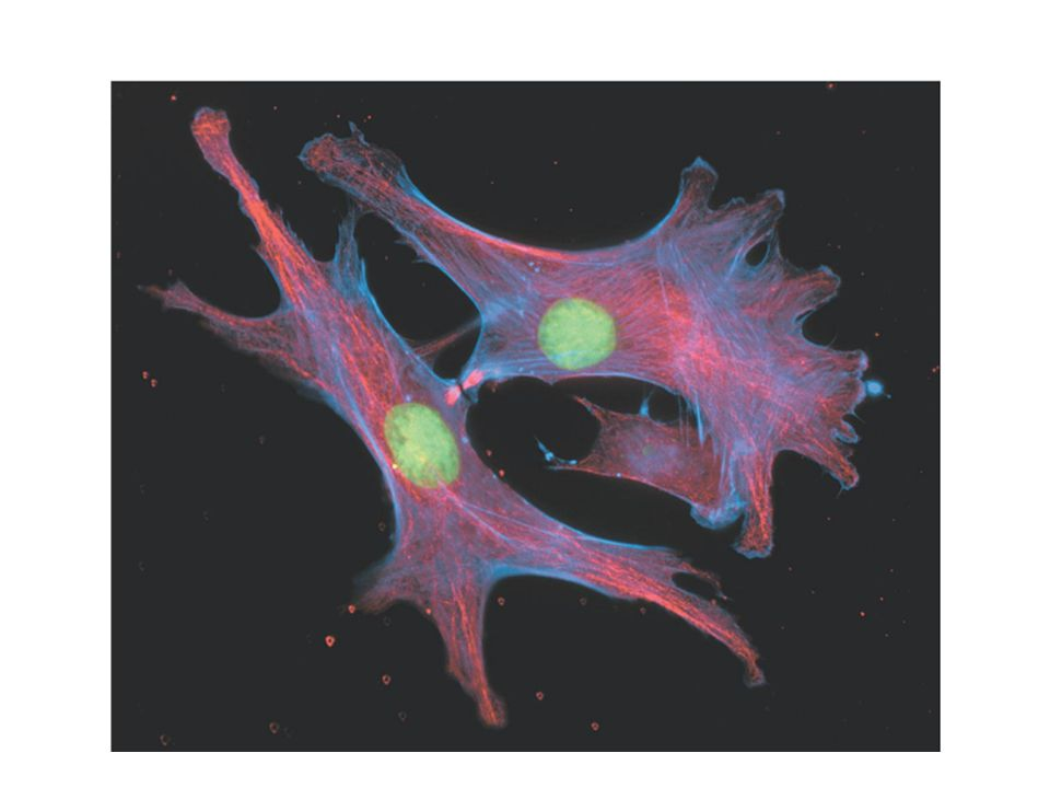 Figure :5-16 part b Title: The cytoskeleton part b. Caption: