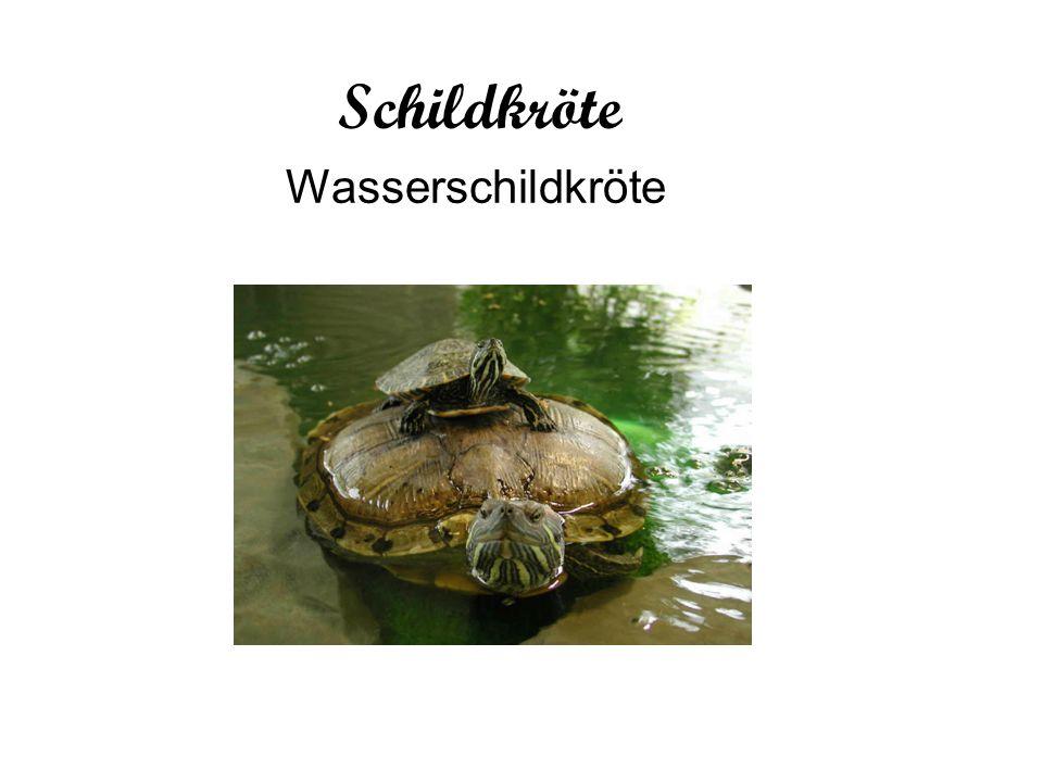 Schildkröte Wasserschildkröte