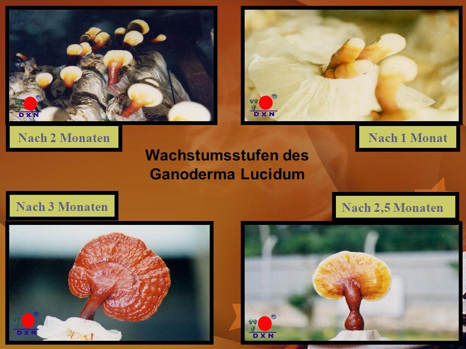 Wachstumsstufen des Ganoderma Lucidum