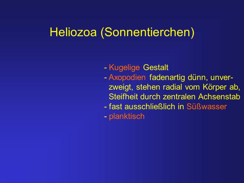Heliozoa (Sonnentierchen)
