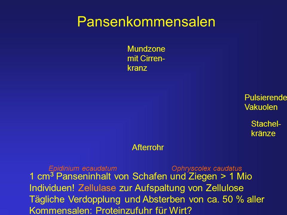Pansenkommensalen Mundzone. mit Cirren- kranz. Pulsierende. Vakuolen. Stachel- kränze. Afterrohr.