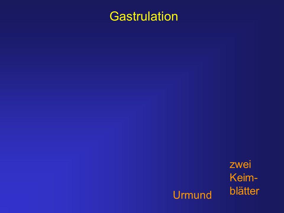 Gastrulation zwei Keim- blätter Urmund