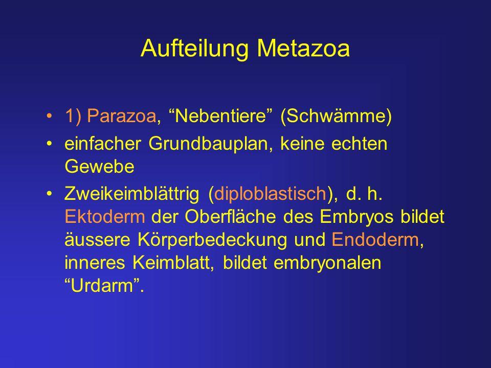 Aufteilung Metazoa 1) Parazoa, Nebentiere (Schwämme)