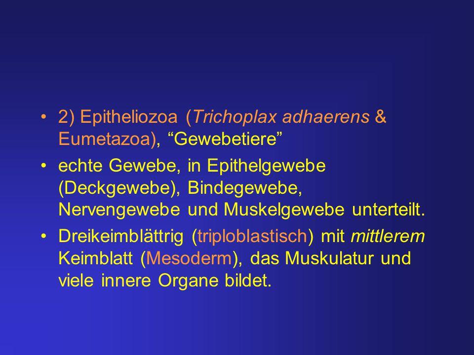 2) Epitheliozoa (Trichoplax adhaerens & Eumetazoa), Gewebetiere