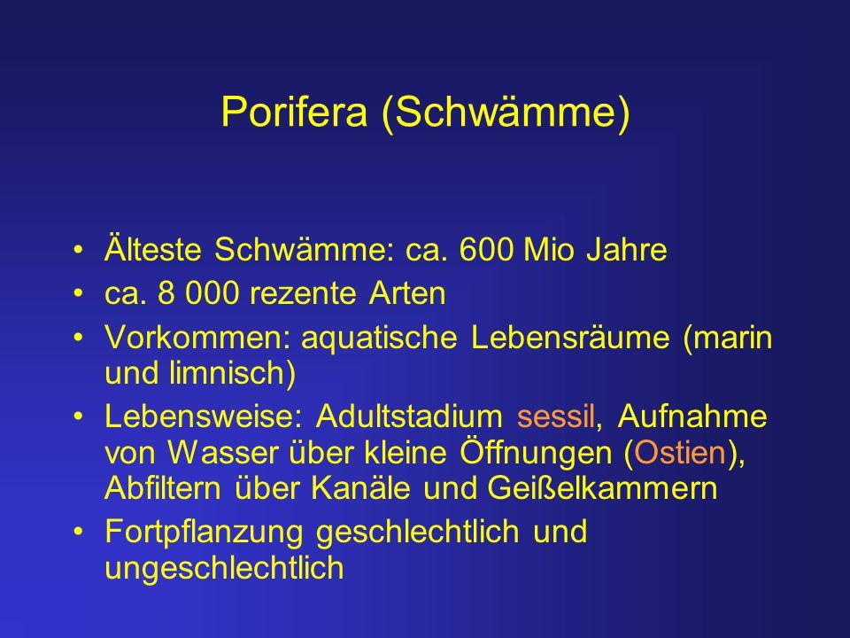 Porifera (Schwämme) Älteste Schwämme: ca. 600 Mio Jahre