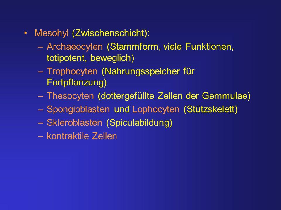 Mesohyl (Zwischenschicht):