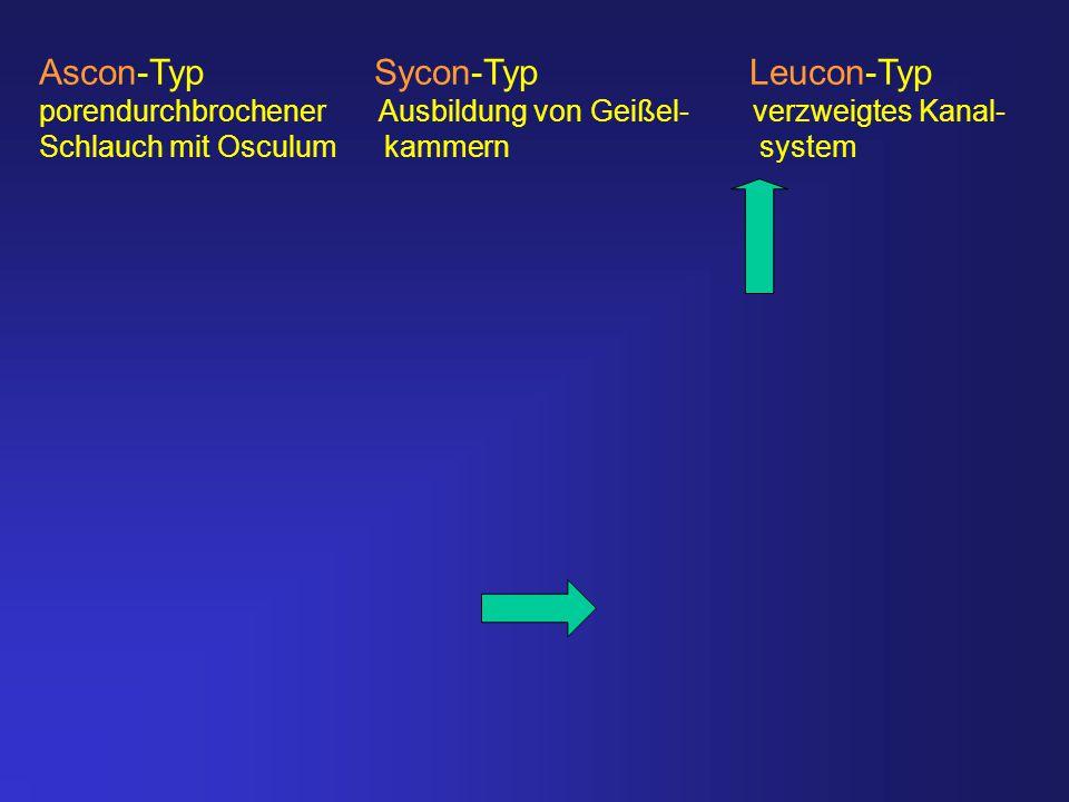 Ascon-Typ Sycon-Typ Leucon-Typ