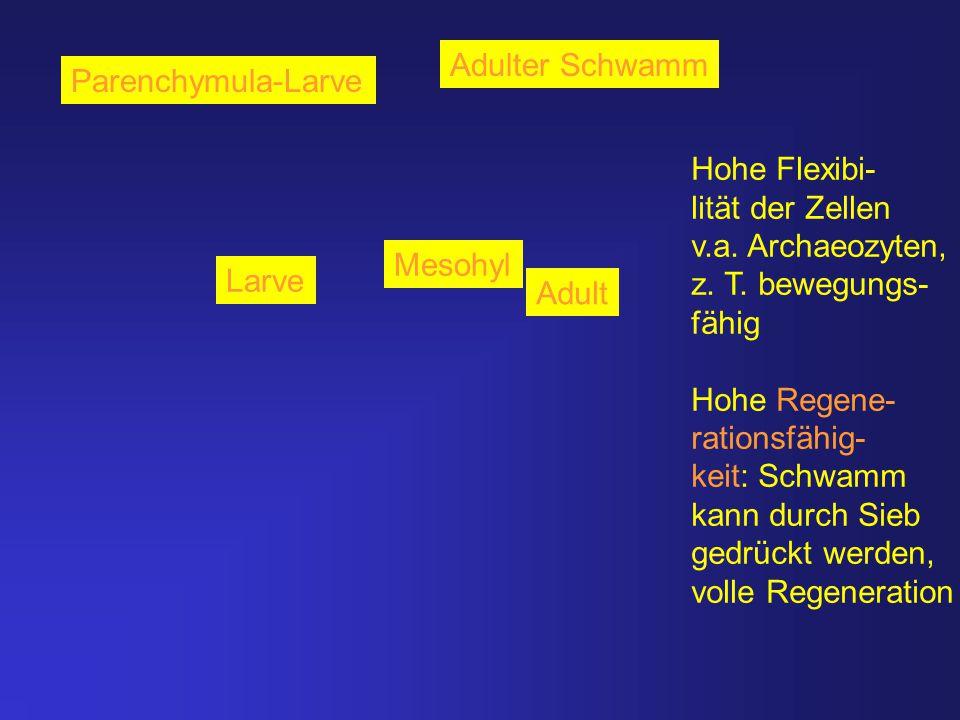 Adulter Schwamm Parenchymula-Larve. Hohe Flexibi- lität der Zellen. v.a. Archaeozyten, z. T. bewegungs-