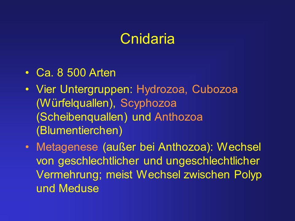Cnidaria Ca. 8 500 Arten. Vier Untergruppen: Hydrozoa, Cubozoa (Würfelquallen), Scyphozoa (Scheibenquallen) und Anthozoa (Blumentierchen)