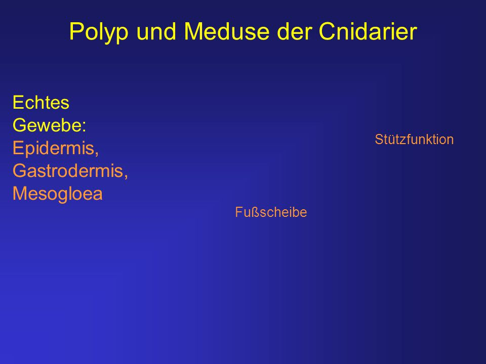 Polyp und Meduse der Cnidarier