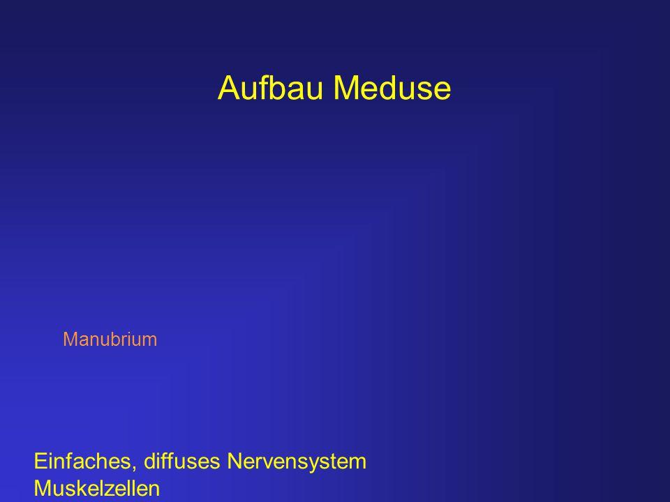 Aufbau Meduse Manubrium Einfaches, diffuses Nervensystem Muskelzellen