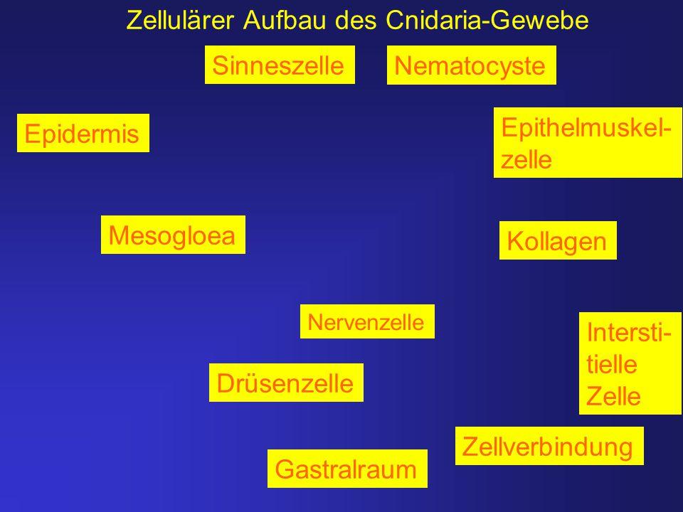 Zellulärer Aufbau des Cnidaria-Gewebe
