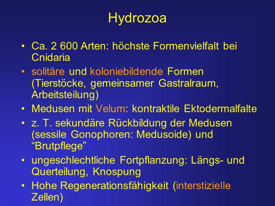 Hydrozoa Ca. 2 600 Arten: höchste Formenvielfalt bei Cnidaria