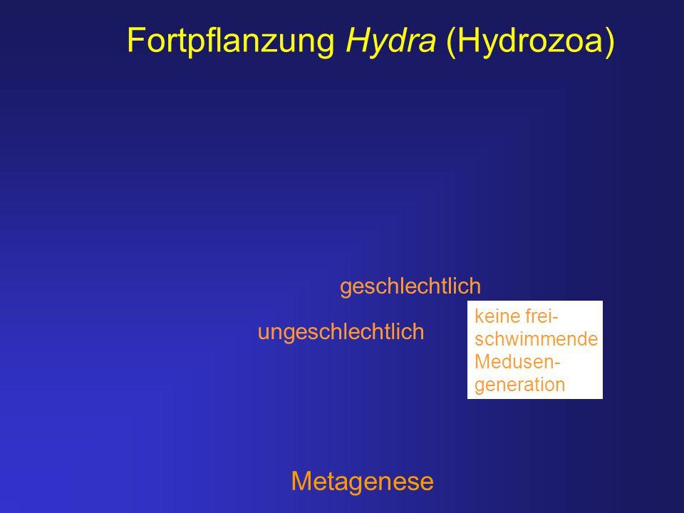 Fortpflanzung Hydra (Hydrozoa)