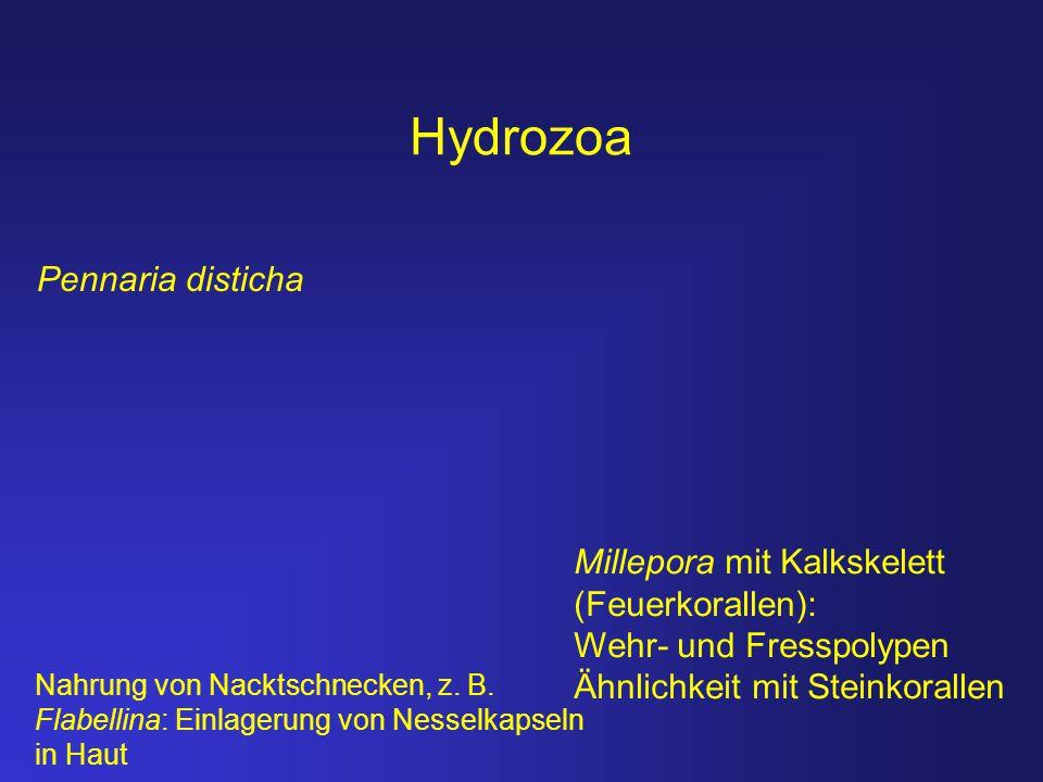 Hydrozoa Pennaria disticha Millepora mit Kalkskelett (Feuerkorallen):