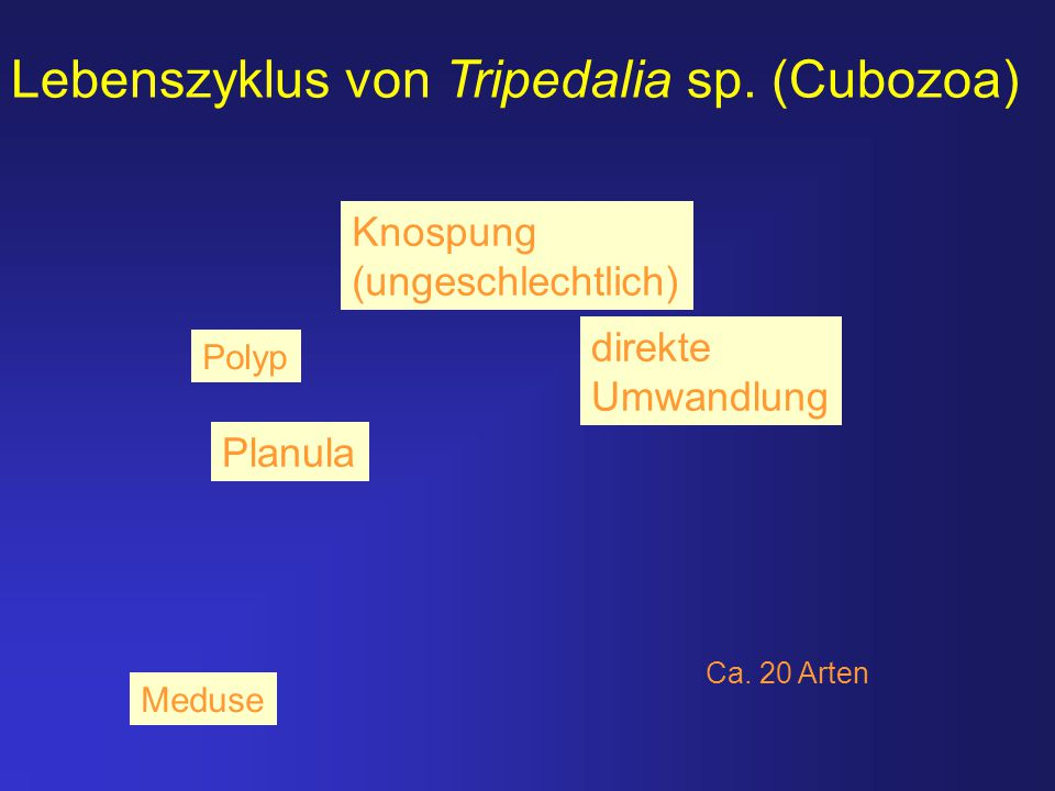 Lebenszyklus von Tripedalia sp. (Cubozoa)