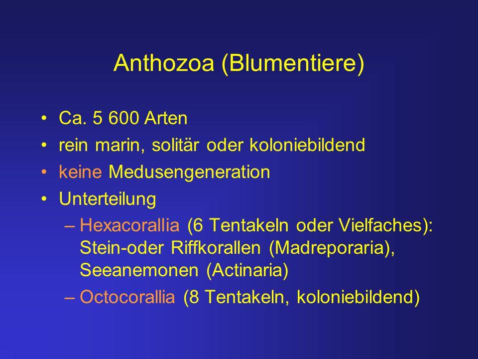 Anthozoa (Blumentiere)