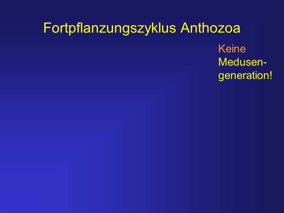 Fortpflanzungszyklus Anthozoa