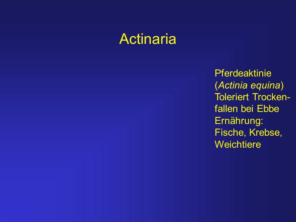 Actinaria Pferdeaktinie (Actinia equina) Toleriert Trocken-