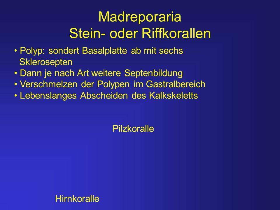 Madreporaria Stein- oder Riffkorallen
