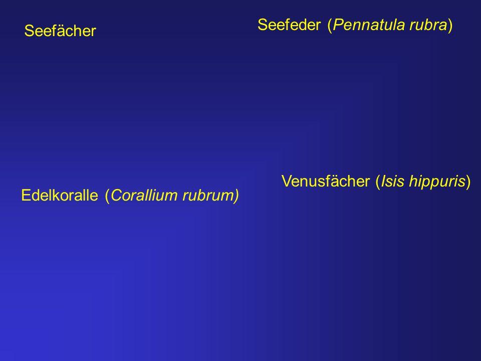 Seefeder (Pennatula rubra)