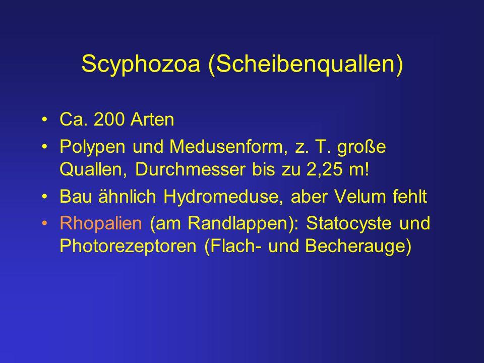 Scyphozoa (Scheibenquallen)