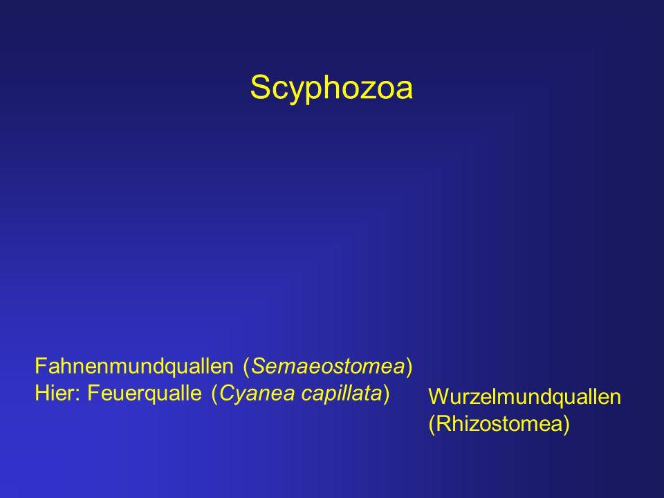 Scyphozoa Fahnenmundquallen (Semaeostomea)