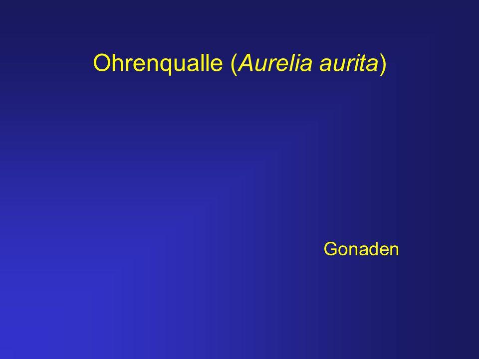 Ohrenqualle (Aurelia aurita)