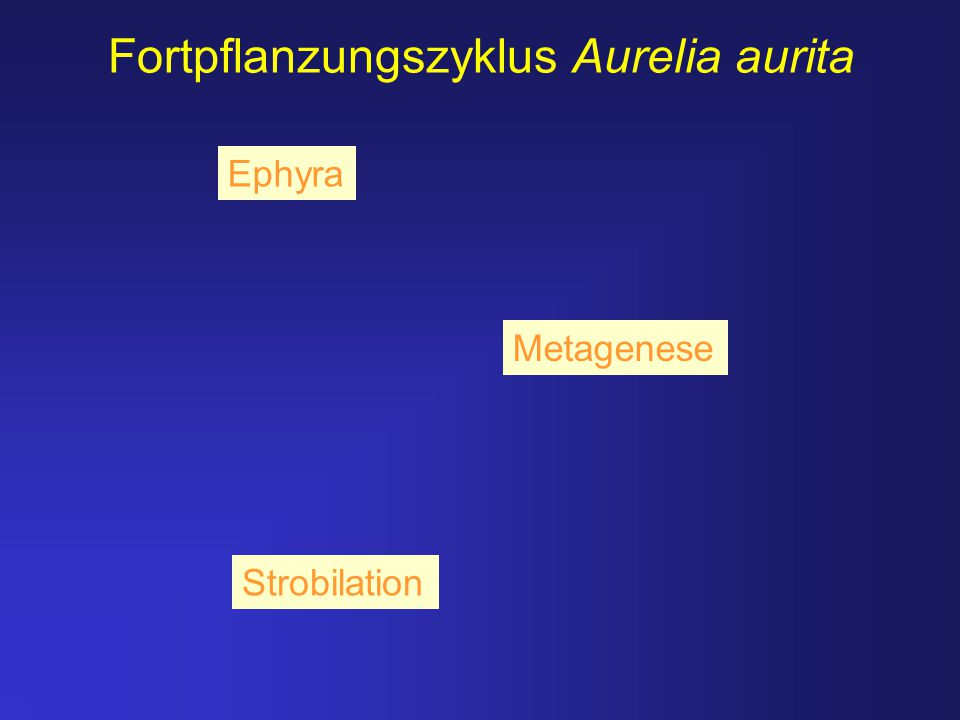 Fortpflanzungszyklus Aurelia aurita