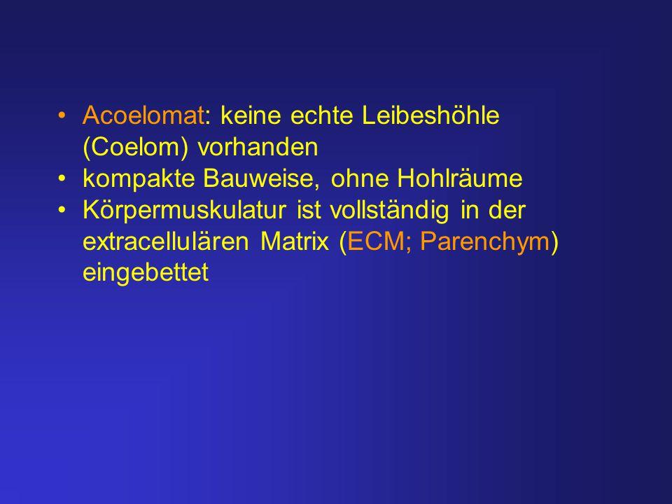 Acoelomat: keine echte Leibeshöhle (Coelom) vorhanden