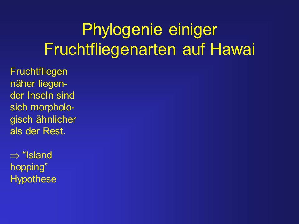 Phylogenie einiger Fruchtfliegenarten auf Hawai