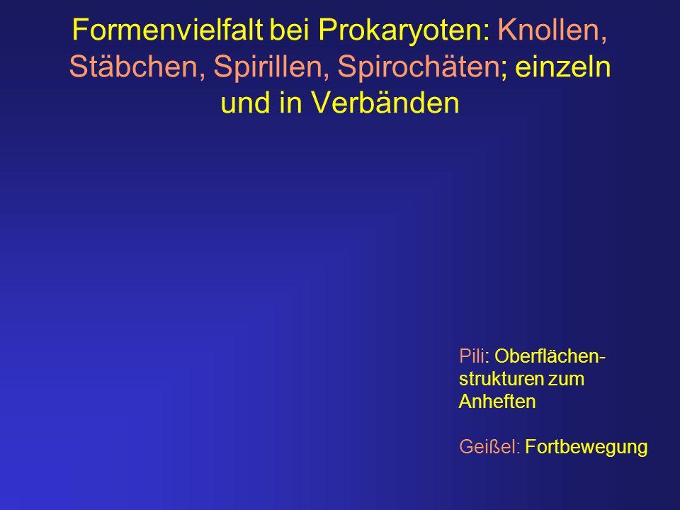 Formenvielfalt bei Prokaryoten: Knollen, Stäbchen, Spirillen, Spirochäten; einzeln und in Verbänden