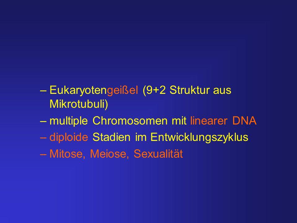 Eukaryotengeißel (9+2 Struktur aus Mikrotubuli)