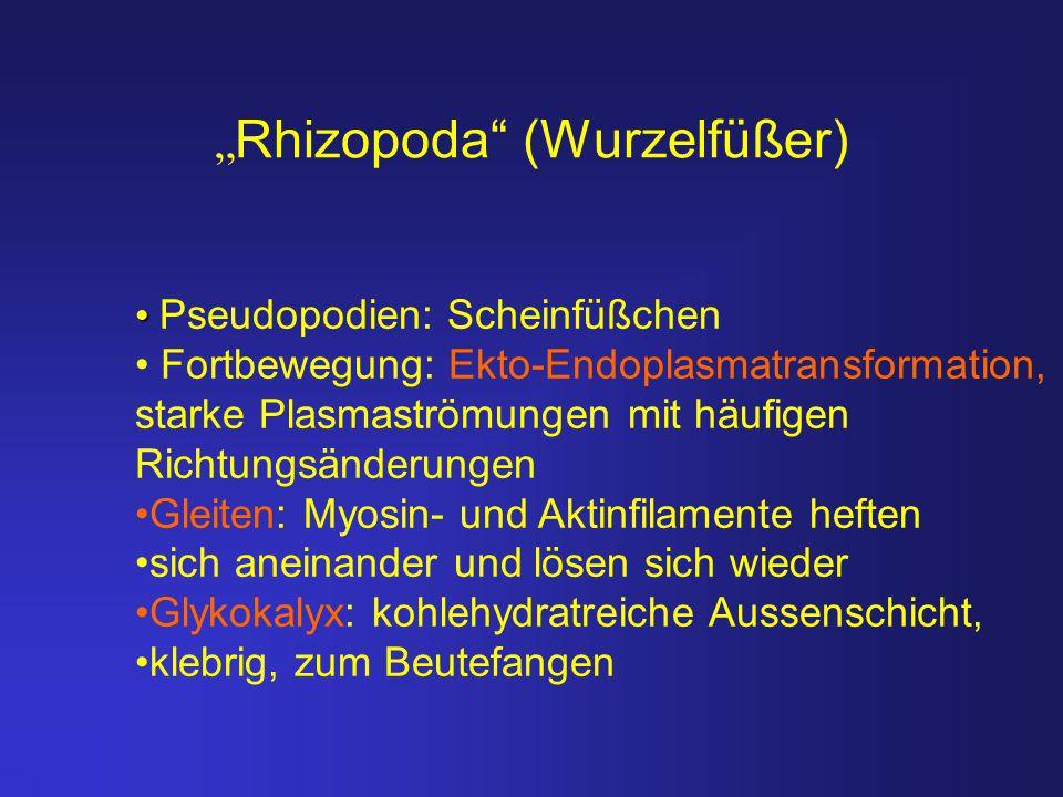 """""""Rhizopoda (Wurzelfüßer)"""
