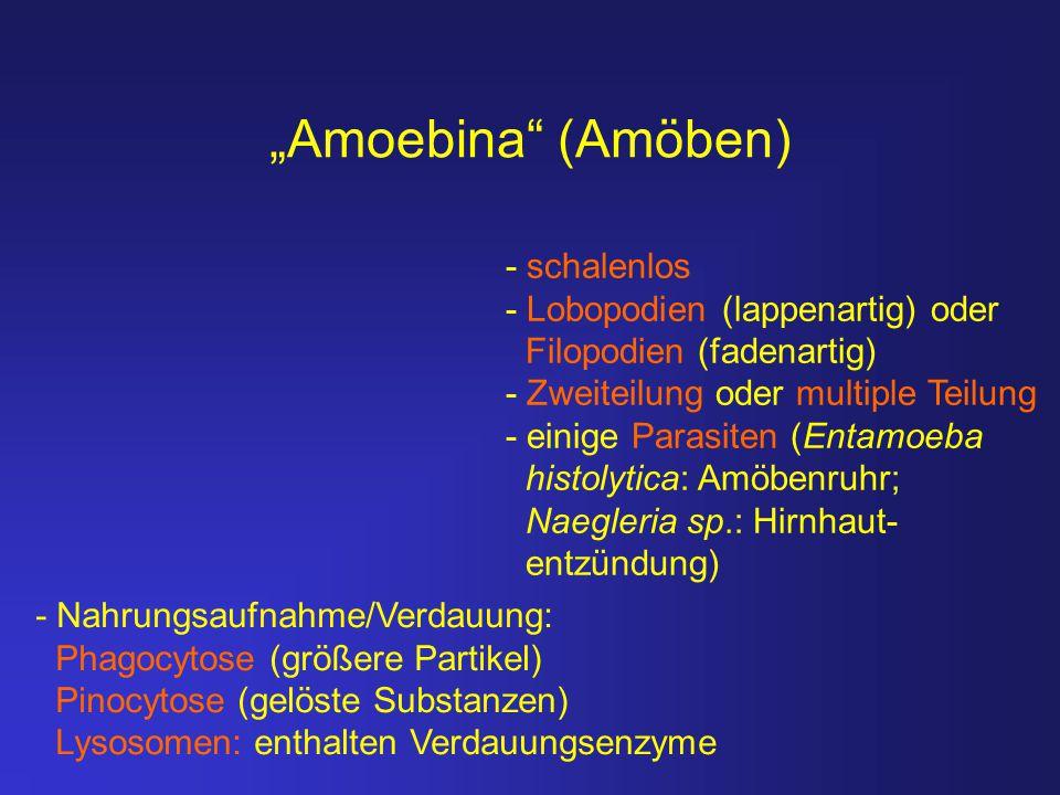 """""""Amoebina (Amöben) - schalenlos - Lobopodien (lappenartig) oder"""