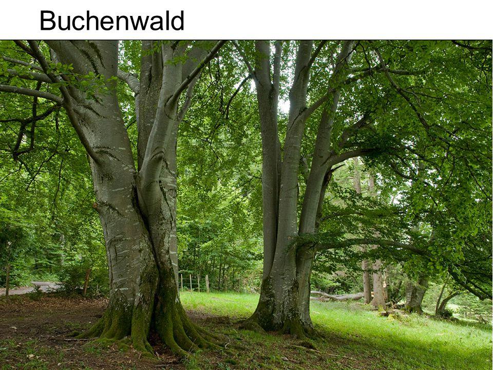 Buchenwald Häufigster Laubbaum der Mischwälder in der CH