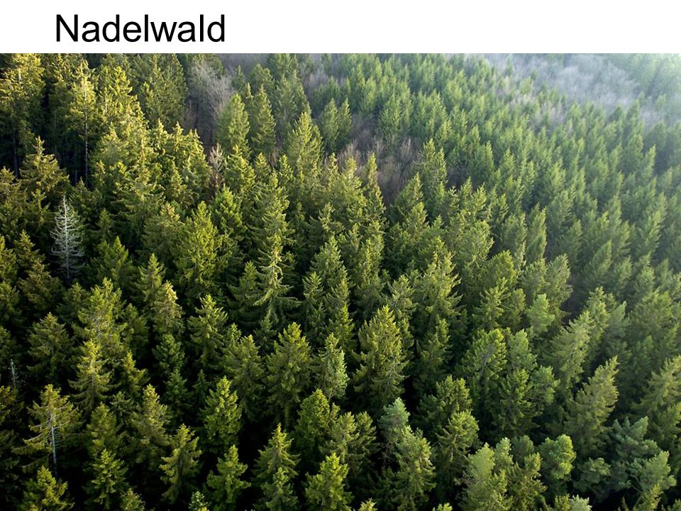 Nadelwald
