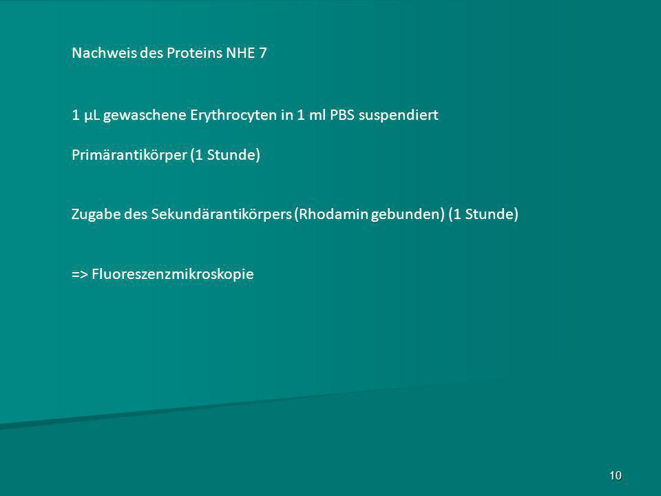 Nachweis des Proteins NHE 7