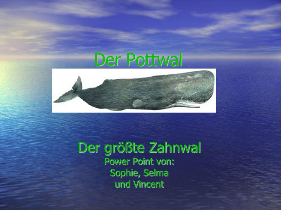 Der größte Zahnwal Power Point von: Sophie, Selma und Vincent