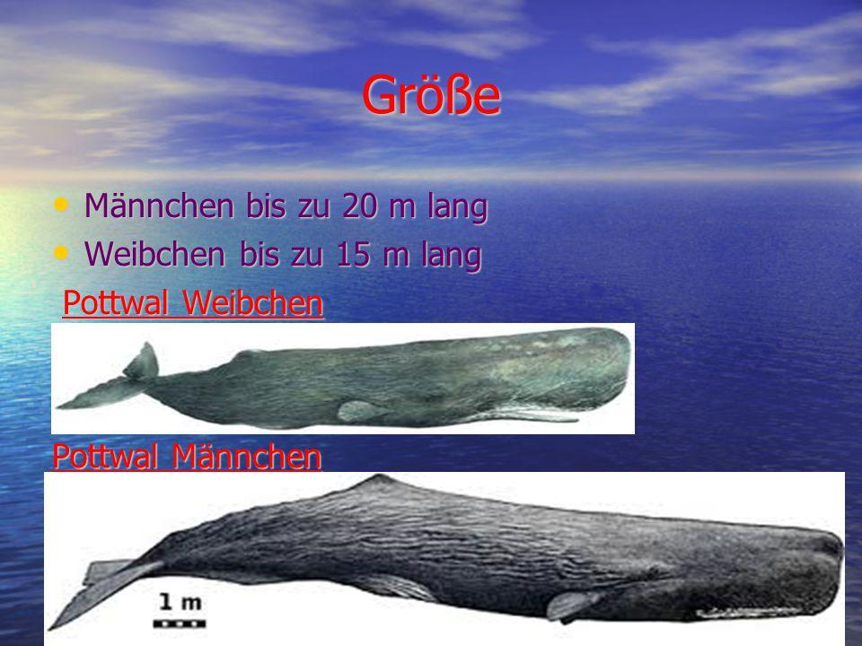 Größe Männchen bis zu 20 m lang Weibchen bis zu 15 m lang