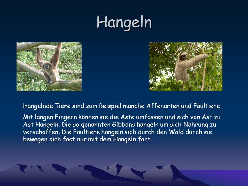 Hangeln Hangelnde Tiere sind zum Beispiel manche Affenarten und Faultiere.